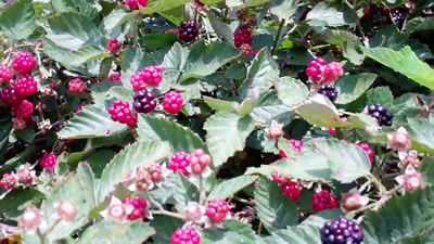 Blackberries in Millwood WV photo 2