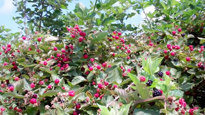 Blackberries in Millwood WV photo 1